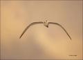 Royal-Tern;Tern;Flight;Sterna-maxima;flying-bird;one-animal;close-up;color-image
