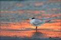 Royal-Tern;Tern;Sterna-maxima;Sunset;One;avifauna;bird;birds;feather;feathered;f