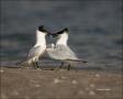Florida;Southeast-USA;Sandwich-Tern;Tern;Breeding-Behavior;Sterna-sandvicensis;o