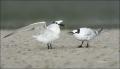 Sandwich-Tern;Tern;Sterna-sandvicensis;feeding-behavior;one-animal;close-up;colo