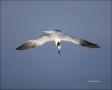 Sandwich-Tern;Tern;Flight;Sterna-sandvicensis;Prey;flying-bird;one-animal;close-