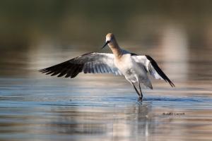 American-Avocet;Avocet;Recurvirostra-americana;Shorebird;foraging;wader;water