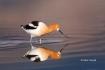 American-Avocet;Animals-in-the-Wild;Avocet;Breeding-Plumage;Mud-Flat;One;Photogr