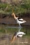 American-Avocet;Avocet;Recurvirostra-americana;Shorebird;Foraging;Water;one;one-