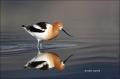 American-Avocet;Avocet;Recurvirostra-americana;Shorebird;shorebirds;waders;close