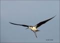 Black-necked-Stilt;Flight;Himantopus-mexicanus;flying-bird;one-animal;close-up;c