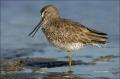 Short-billed-Dowitcher;Dowitcher;Florida;Southeast-USA;Limnodromus-griseus;shore
