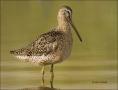 Short-billed-Dowitcher;Dowitcher;Southeast-USA;shorebirds;Shorebird;Limnodromus-