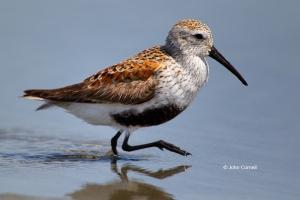 Calidris-alpina;Dunlin;One;Shorebird;Shoreline;avifauna;beach;bird;birds;color-i