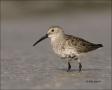 Dunlin;Florida;Shorebird;shorebirds;one-animal;close-up;color-image;nobody;photo