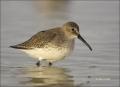 Florida;Dunlin;Southeast-USA;Calidris-alpina;shorebirds;one-animal;close-up;colo