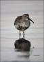 Florida;Southeast-USA;Dunlin;Breeding-Plumage;Shorebird;Calidris-alpina;shorebir