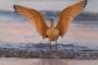 Godwit;Limosa-fedoa;Marbled-Godwit;Mud-Flat;Shorebird;Shoreline;Surf;Waves;forag