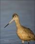 Marbled-Godwit;Godwit;Limosa-fedoa;portrait;one-animal;close-up;color-image;nobo