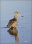 Marbled-Godwit;Godwit;Limosa-fedoa;shorebirds;one-animal;close-up;color-image;no
