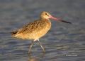 Godwit;Limosa-fedoa;Marbled-Godwit;shorebirds;one-animal;close-up;color-image;no
