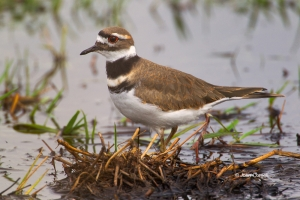 Charadrius-vociferus;Killdeer;Shorebird;Wetlands;beach;foraging;hunter;water