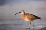 Numenius-phaeopus;One;Whimbrel;avifauna;bird;birds;color-image;color-photograph;