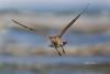 Flying-Bird;Numenius-phaeopus;Photography;Shoreline;Waves;Whimbrel;action;active