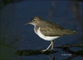 Spotted-Sandpiper;Sandpiper;Actitis-macularia;shorebirds;one-animal;close-up;col