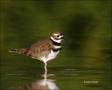 Killdeer;Charadrius-vociferus;shorebirds;one-animal;close-up;color-image;nobody;