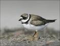 Plover;Semipalmated-Plover;Charadrius-semipalmatus;shorebirds;one-animal;close-u