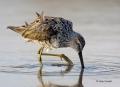 Sandpiper;Calidris-himantopus;Stilt-Sandpiper;Shorebird;shorebirds;closeup;color