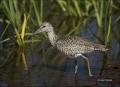 Willet;Breeding-Plumage;Catoptrophorus-semipalmatus;shorebirds;one-animal;close-