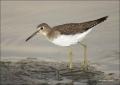 Solitary-Sandpiper;Sandpiper;Tringa-solitaria;shorebirds;one-animal;close-up;col
