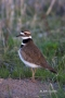 Charadrius-vociferus;one-animal;close-up;color-image;photography;day;outdoors-Wi