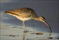 Whimbrel;California;Southwest-USA;Numenius-phaeopus;shorebirds;one-animal;close-
