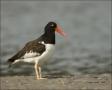 American-Oystercatcher;Oystercatcher;Haematopus-palliatus;shorebirds;one-animal;