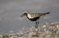 Plover;Black-bellied-Plover;Pluvialis-squatarola;Black-bellied-Plover;One;one-an