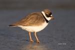 Breeding-Plumage;Charadrius-semipalmatus;Forage;Migration;Mud-Flat;Semipalmated-