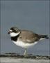Plover;Florida;Shorebird;Semipalmated-Plover;Charadrius-semipalmatus;shorebirds;