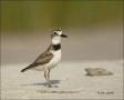 Wilsons-Plover;Plover;Florida;Southeast-USA;Charadrius-wilsonia;shorebirds;one-a