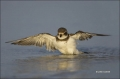 Plover;Flight;Florida;Southeast-USA;Semipalmated-Plover;Charadrius-semipalmatus;