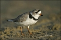 Piping-Plover;Plover;Charadrius-melodus;shorebirds;one-animal;close-up;color-ima