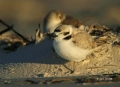 Snowy-Plover;Plover;Charadrius-alexandrinus;Sleeping;shorebirds;one-animal;close