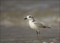 Snowy-Plover;Plover;Florida;Southeast-USA;Charadrius-alexandrinus;shorebirds;one