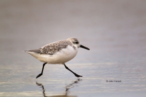 Calidris-alba;Forage;One;Sanderling;Shorebird;avifauna;bird;birds;color-image;co