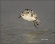 Sanderling;Flight;Florida;Southeast-USA;Calidris-alba;shorebirds;one-animal;clos