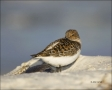 Sanderling;Florida;Southeast-USA;Calidris-alba;shorebirds;one-animal;close-up;co
