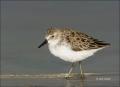 Florida;Shorebird;Least-Sandpiper;Sandpiper;Calidris-minutilla;shorebirds;one-an