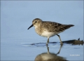 Florida;Southeast-USA;Least-Sandpiper;Sandpiper;Calidris-minutilla;shorebirds;on