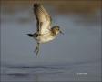 Least-Sandpiper;Sandpiper;Flight;Florida;Shorebird;Calidris-minutilla;shorebirds