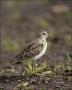 Least-Sandpiper;Sandpiper;Shorebird;Calidris-minutilla;shorebirds;Newfoundland;o