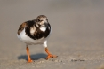 Animals-in-the-Wild;Arenaria-interpres;Mud-Flat;Photography;Ruddy-Turnstone;Shor