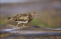 California;Southwest-USA;Black-Turnstone;Turnstone;Arenaria-melanocephala;one-an
