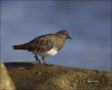 California;USA;Black-Turnstone;Turnstone;Arenaria-melanocephala;one-animal;close